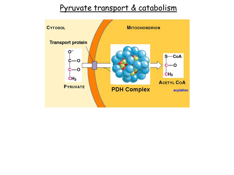 Pyruvate transport & catabolism