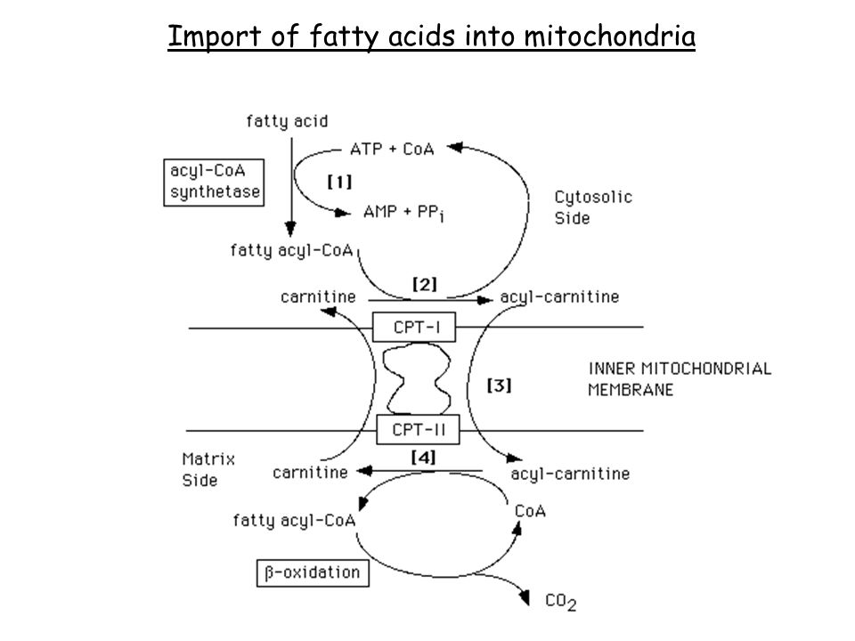 Import of fatty acids into mitochondria