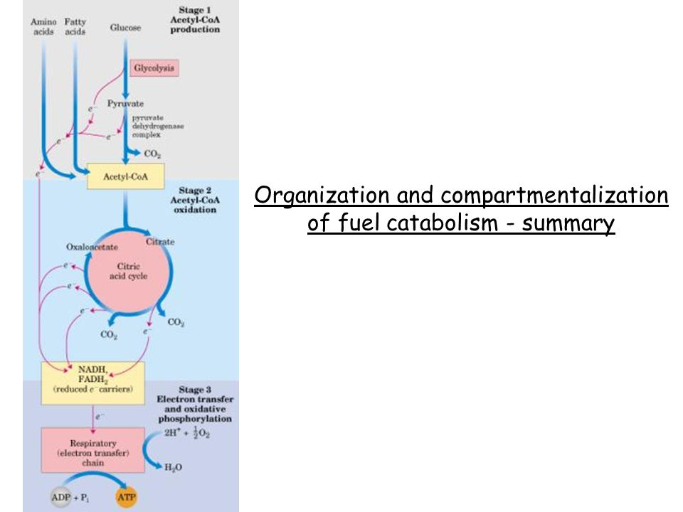 Organization and compartmentalization of fuel catabolism - summary