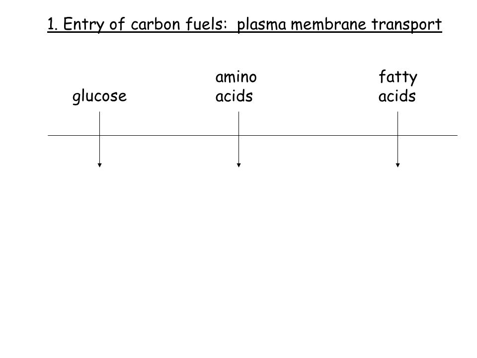 1. Entry of carbon fuels: plasma membrane transport glucose amino acids fatty acids