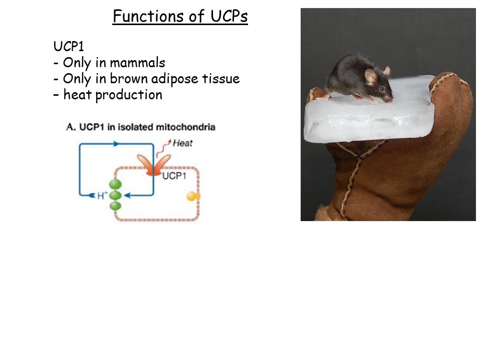 Functions of UCPs UCP1 - Only in mammals - Only in brown adipose tissue – heat production