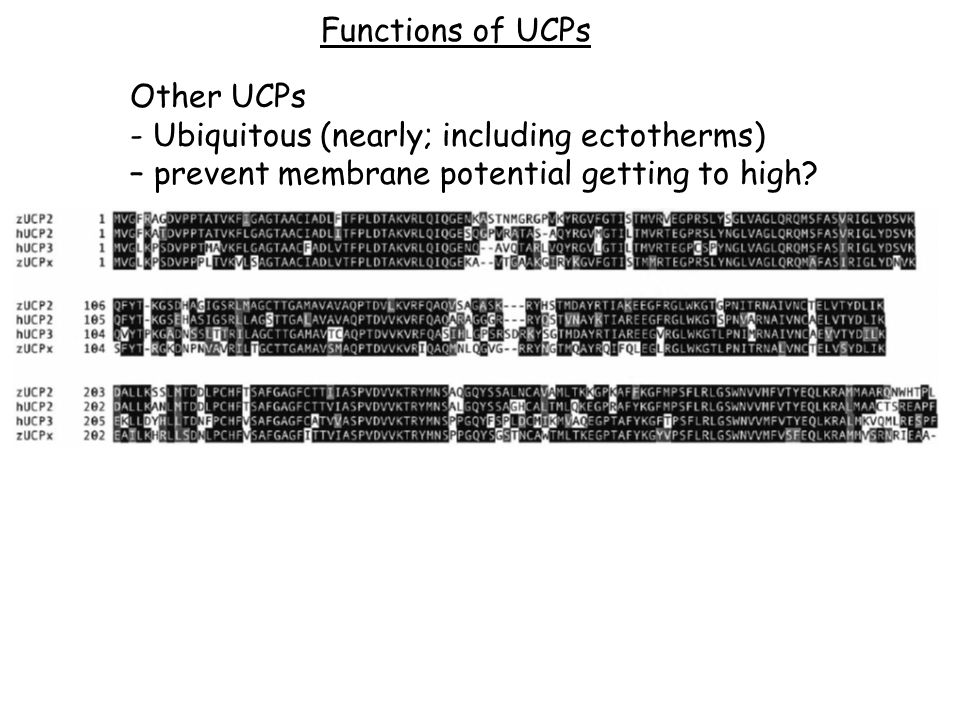 Functions of UCPs Other UCPs - Ubiquitous (nearly; including ectotherms) – prevent membrane potential getting to high?