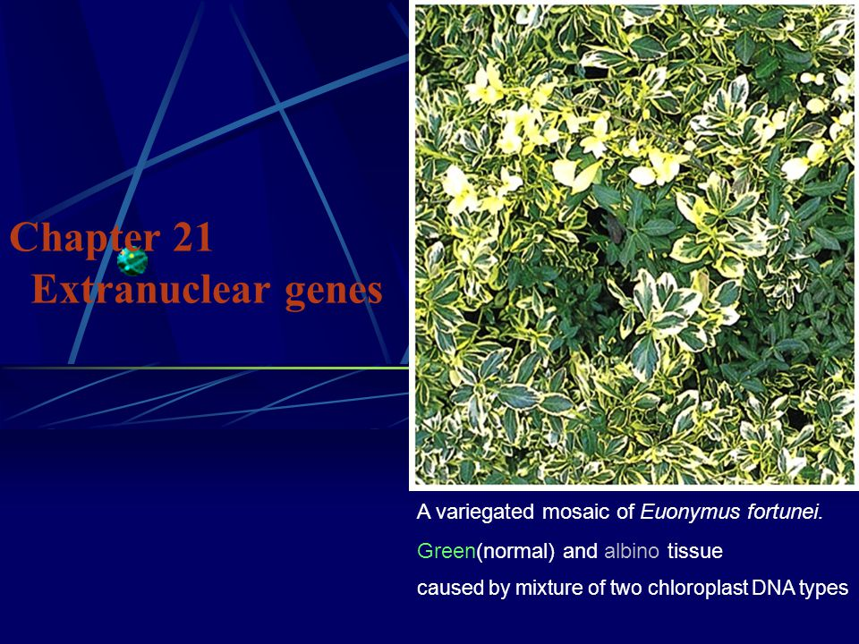 Chapter 21 Extranuclear genes A variegated mosaic of Euonymus fortunei.