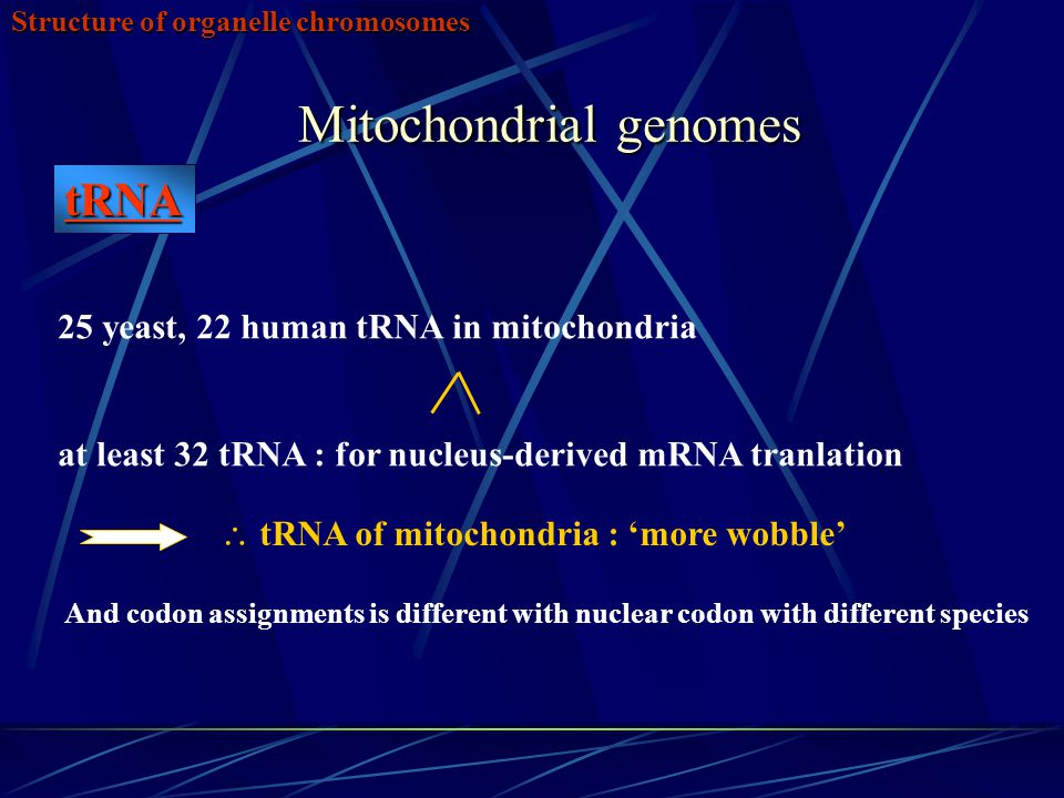 Mitochondrial genomes Structure of organelle chromosomes  tRNA of mitochondria : 'more wobble' And codon assignments is different with nuclear codon with different species 25 yeast, 22 human tRNA in mitochondria at least 32 tRNA : for nucleus-derived mRNA tranlation tRNA