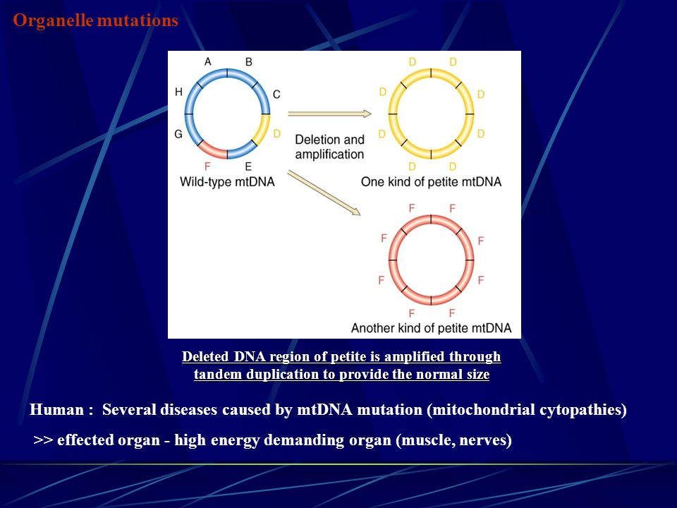 Deleted DNA region of petite is amplified through tandem duplication to provide the normal size Organelle mutations Human : Several diseases caused by mtDNA mutation (mitochondrial cytopathies) >> effected organ - high energy demanding organ (muscle, nerves)