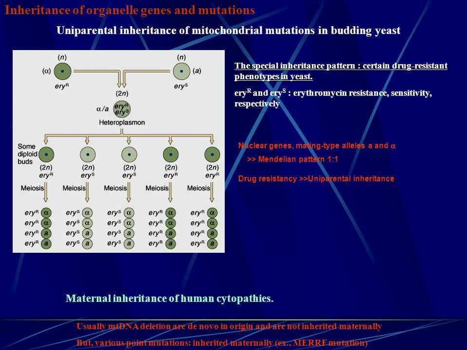 Inheritance of organelle genes and mutations Uniparental inheritance of mitochondrial mutations in budding yeast The special inheritance pattern : cer