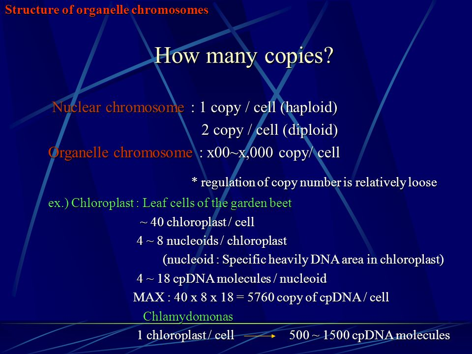 Structure of organelle chromosomes How many copies? Nuclear chromosome : 1 copy / cell (haploid) Nuclear chromosome : 1 copy / cell (haploid) 2 copy /