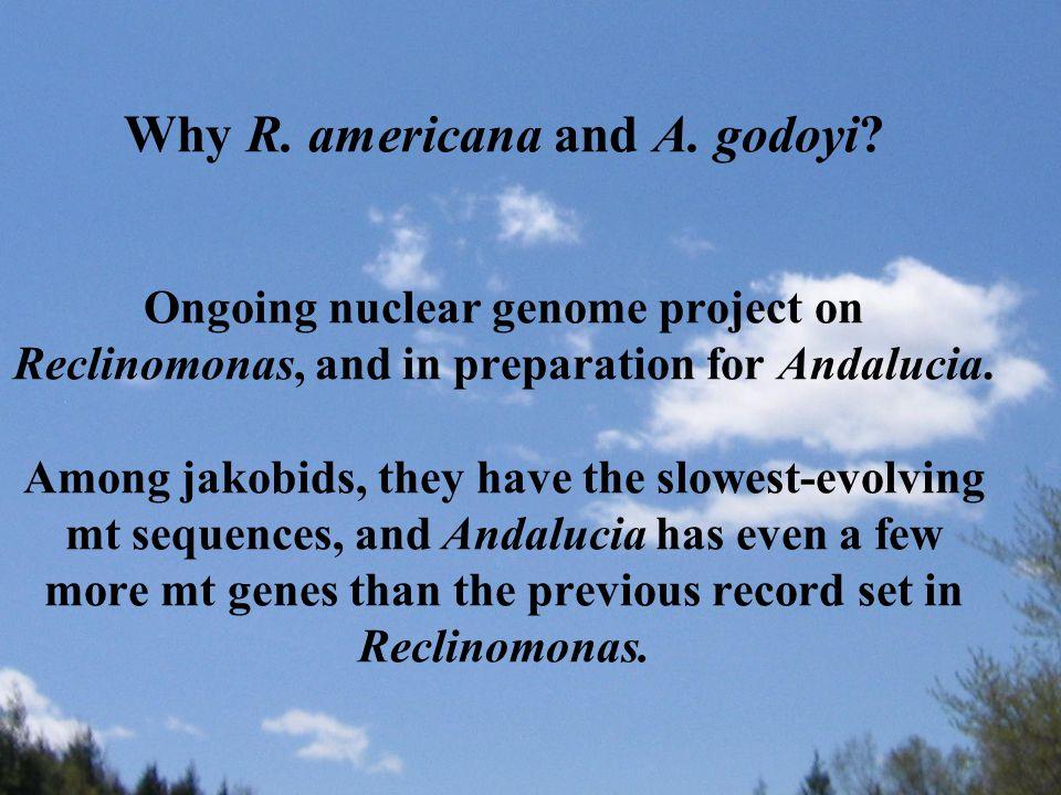 Why R. americana and A. godoyi.