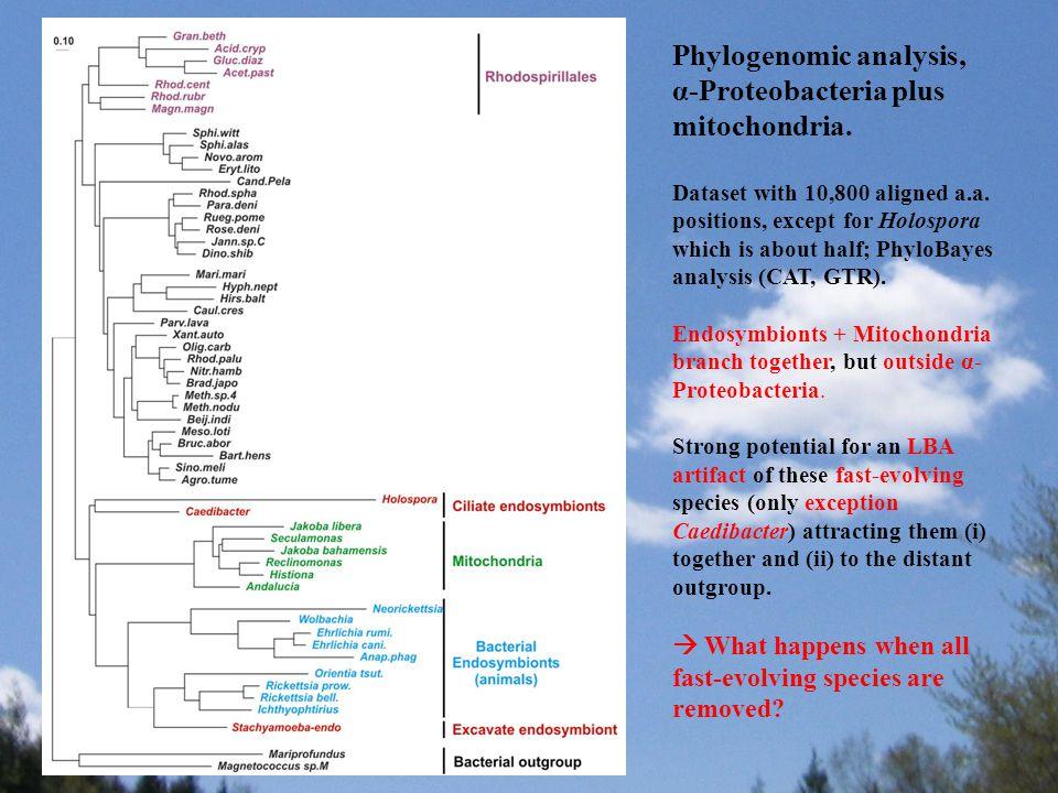 Phylogenomic analysis, α-Proteobacteria plus mitochondria.