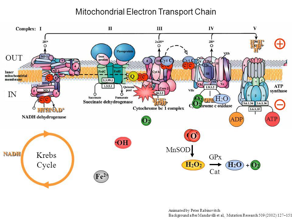 H2O2H2O2 Krebs Cycle e-e- e-e- e-e- e-e- H+H+H+H+ H+H+ H+H+H+H+H+H+ H+H+ H+H+ H+H+H+H+ H+H+ H+H+H+H+H+H+ H+H+ H+H+ Cyt C e-e- e-e- H+H+H+H+H+H+H+H+ H+H+H+H+H+H+H+H+ O2O2 H+H+H+H+H+H+H+H+ H+H+H+H+H+H+H+H+ H2OH2O ADPATP Cyt C e-e- O2O2 Q H +` H + NADHNADH NAD + H+H+H+H+ H+H+H+H+ H + H + H + H + H + Cyt C H +` H +` e-e- O2O2 O-O-.