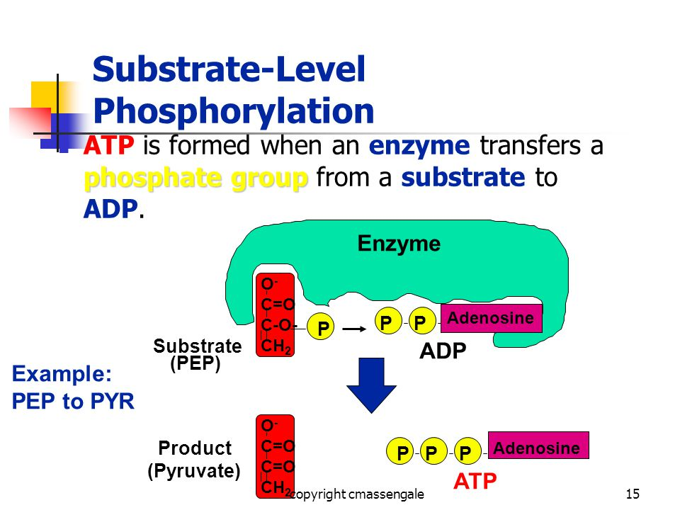 15 Substrate-Level Phosphorylation phosphate group ATP is formed when an enzyme transfers a phosphate group from a substrate to ADP.