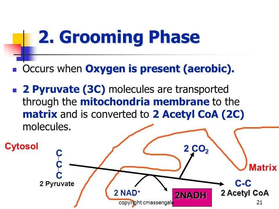 21 2. Grooming Phase Oxygen is present (aerobic).