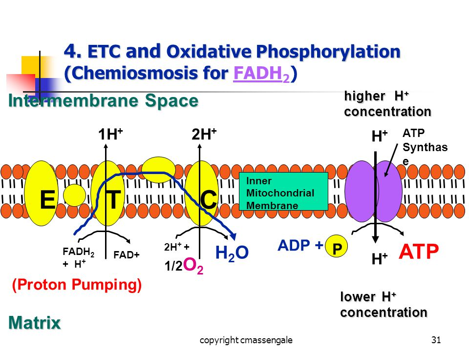 31 4. ETC and Oxidative Phosphorylation (Chemiosmosis for 4.