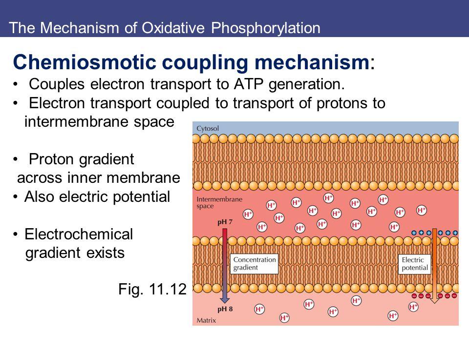 The Mechanism of Oxidative Phosphorylation Chemiosmotic coupling mechanism: Couples electron transport to ATP generation. Electron transport coupled t