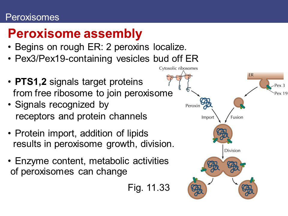 Peroxisomes Peroxisome assembly Begins on rough ER: 2 peroxins localize. Pex3/Pex19-containing vesicles bud off ER PTS1,2 signals target proteins from