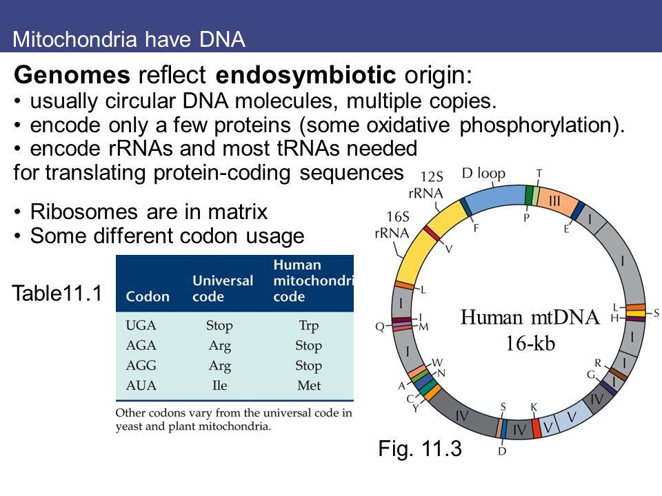 Mitochondria have DNA Genomes reflect endosymbiotic origin: usually circular DNA molecules, multiple copies. encode only a few proteins (some oxidativ