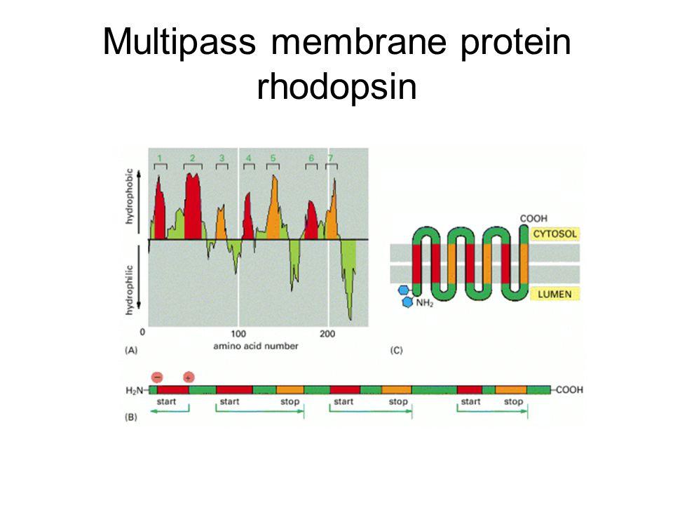 Multipass membrane protein rhodopsin