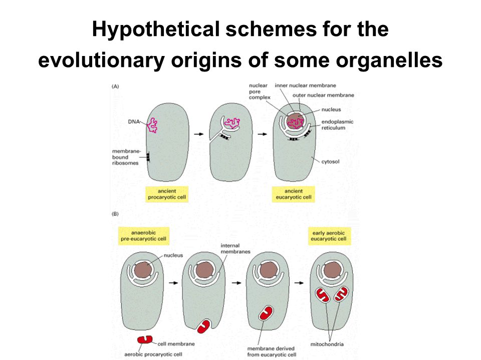 Hypothetical schemes for the evolutionary origins of some organelles