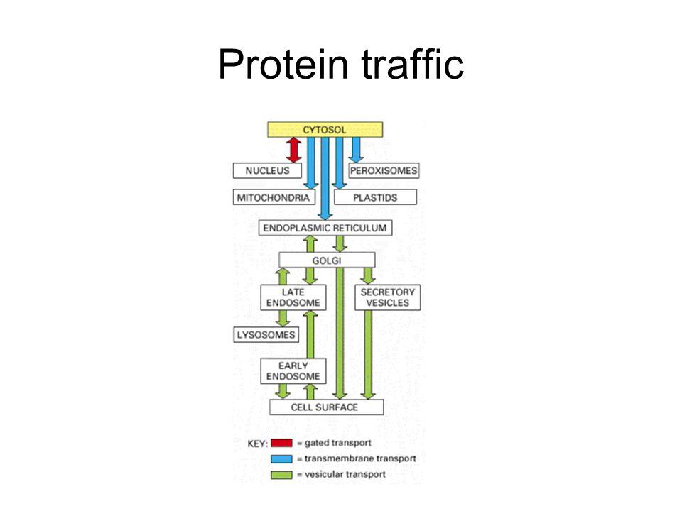 Protein traffic