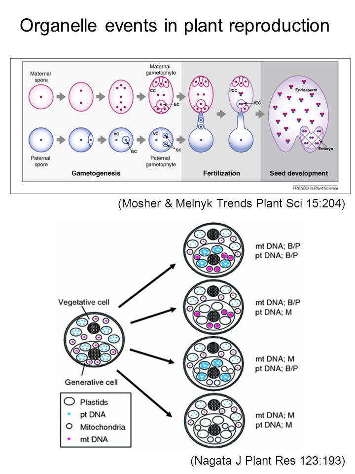 (Mosher & Melnyk Trends Plant Sci 15:204) Organelle events in plant reproduction (Nagata J Plant Res 123:193)