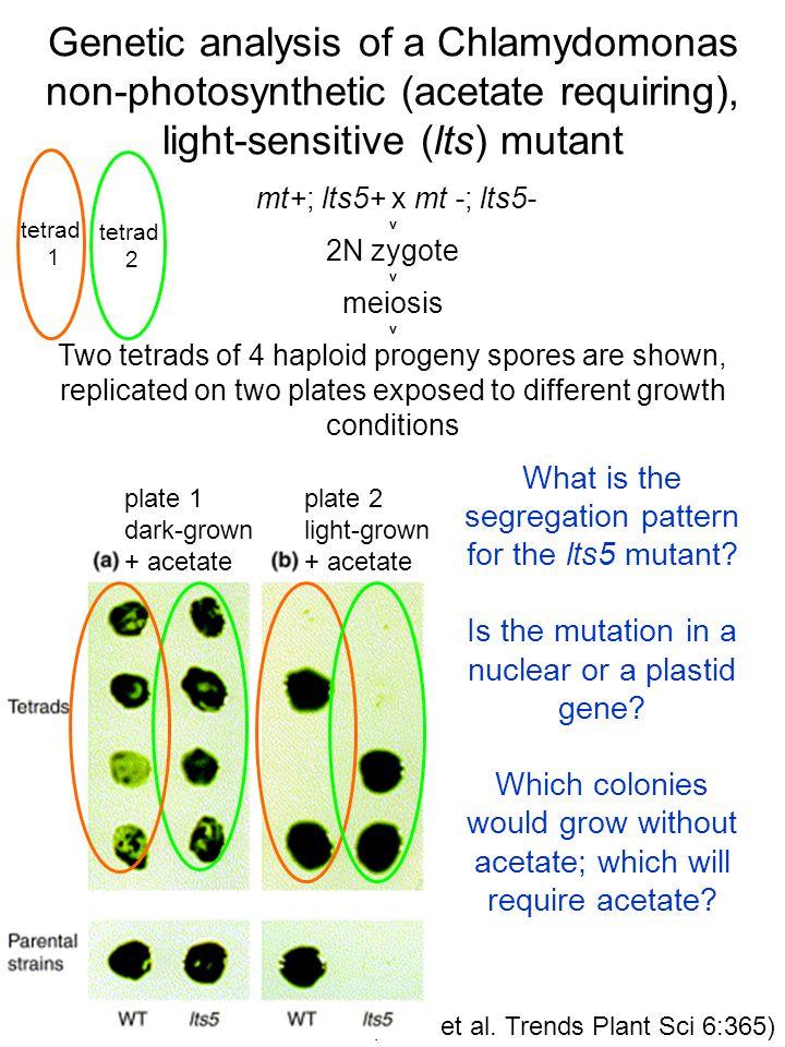 (Dent et al. Trends Plant Sci 6:365) Genetic analysis of a Chlamydomonas non-photosynthetic (acetate requiring), light-sensitive (lts) mutant mt+; lts