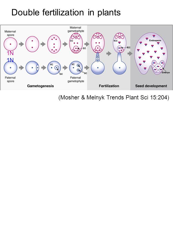 (Mosher & Melnyk Trends Plant Sci 15:204) Double fertilization in plants 1N