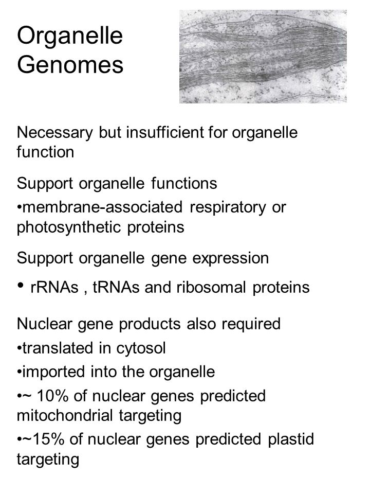 Organelle Genomes Necessary but insufficient for organelle function Support organelle functions membrane-associated respiratory or photosynthetic proteins Support organelle gene expression rRNAs, tRNAs and ribosomal proteins Nuclear gene products also required translated in cytosol imported into the organelle ~ 10% of nuclear genes predicted mitochondrial targeting ~15% of nuclear genes predicted plastid targeting
