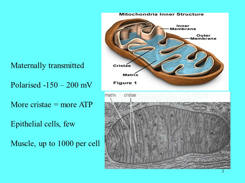 3 Maternally transmitted Polarised -150 – 200 mV More cristae = more ATP Epithelial cells, few Muscle, up to 1000 per cell