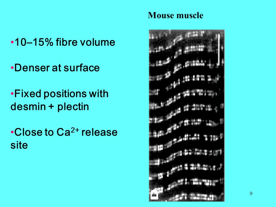 9 Mouse muscle 10–15% fibre volume Denser at surface Fixed positions with desmin + plectin Close to Ca 2+ release site