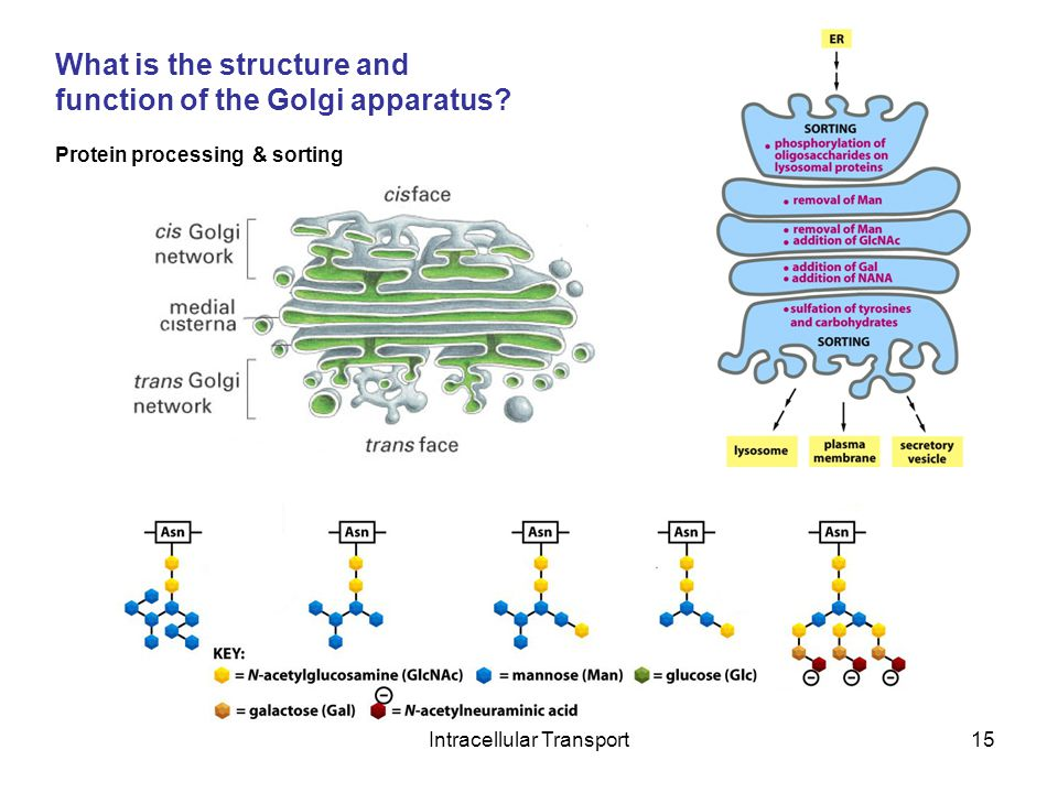 Intracellular Transport15 What is the structure and function of the Golgi apparatus.