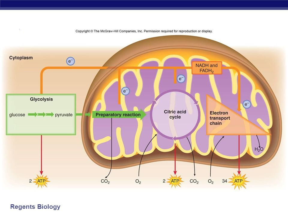 Regents Biology Steps of Cellular Respiration 1.