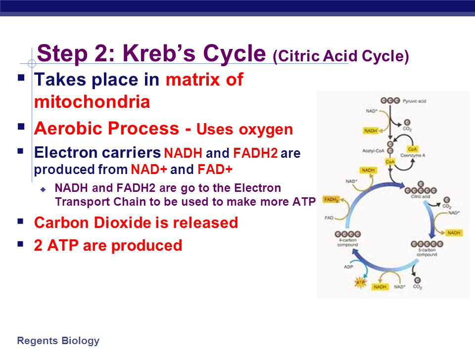 Regents Biology Step 1: Glycolysis  Takes place in cytoplasm  Anaerobic process- no oxygen required  Splits glucose into two 3-carbon molecules called pyruvate  REACTANTS (IN) = 2 ATP, 2 NAD+, and 4 ADP  PRODUCTS = 2 ADP, 2 NADH, 4 ATP  Net gain = 2 NADH and 2 ATP