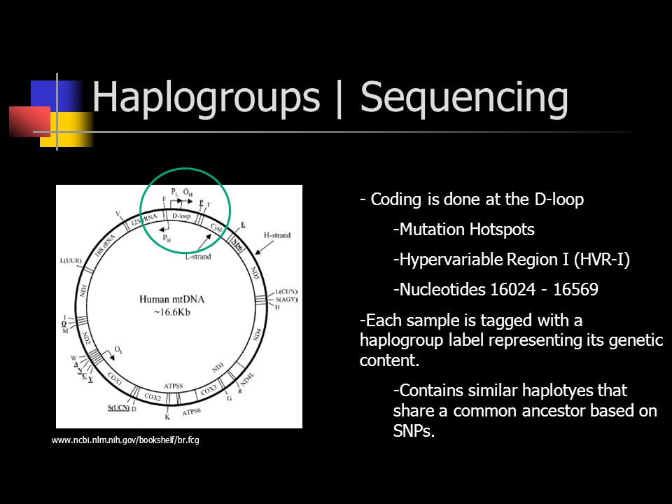 Haplogroups | Sequencing - Coding is done at the D-loop -Mutation Hotspots -Hypervariable Region I (HVR-I) -Nucleotides 16024 - 16569 -Each sample is