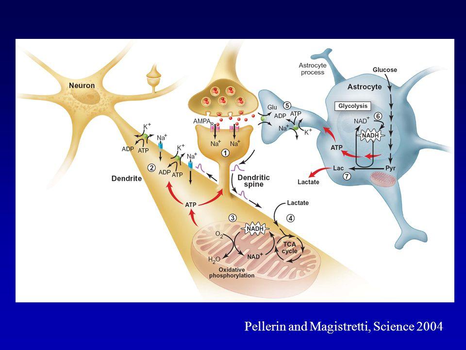 Pellerin and Magistretti, Science 2004