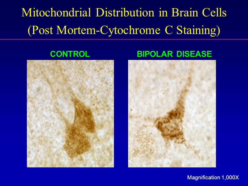 Mitochondrial Distribution in Brain Cells (Post Mortem-Cytochrome C Staining) Magnification 1,000X CONTROLBIPOLAR DISEASE