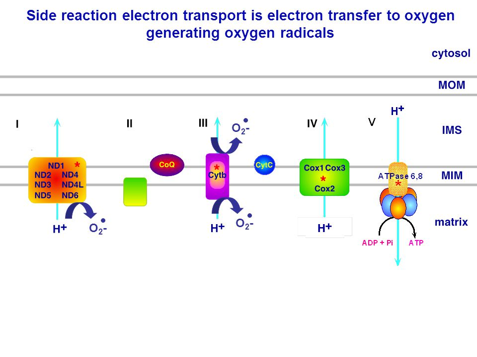 Side reaction electron transport is electron transfer to oxygen generating oxygen radicals O2-O2- O2-O2- O2-O2-