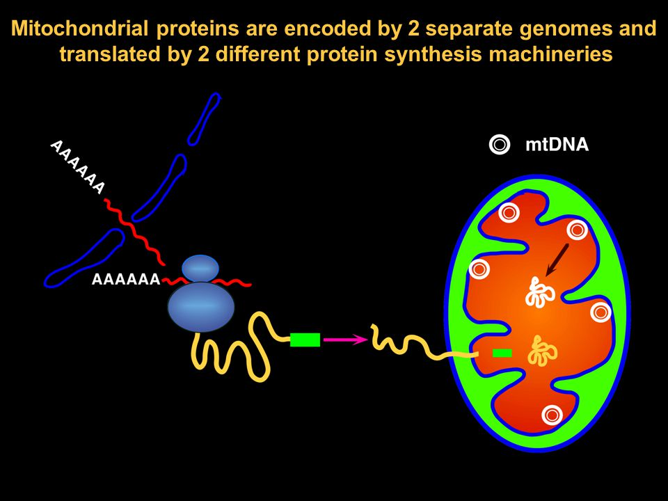 Mitochondrial proteins are encoded by 2 separate genomes and translated by 2 different protein synthesis machineries