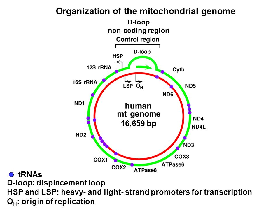 Organization of the mitochondrial genome D-loop: displacement loop HSP and LSP: heavy- and light- strand promoters for transcription O H : origin of replication tRNAs 16,659 bp D-loop non-coding region