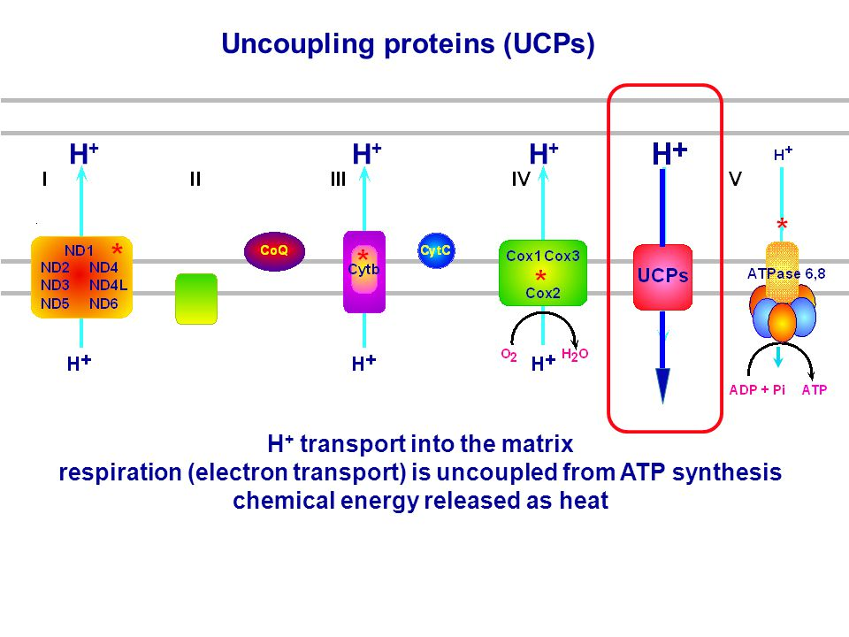 Uncoupling proteins (UCPs) H + transport into the matrix respiration (electron transport) is uncoupled from ATP synthesis chemical energy released as heat H+H+ H+H+ H+H+