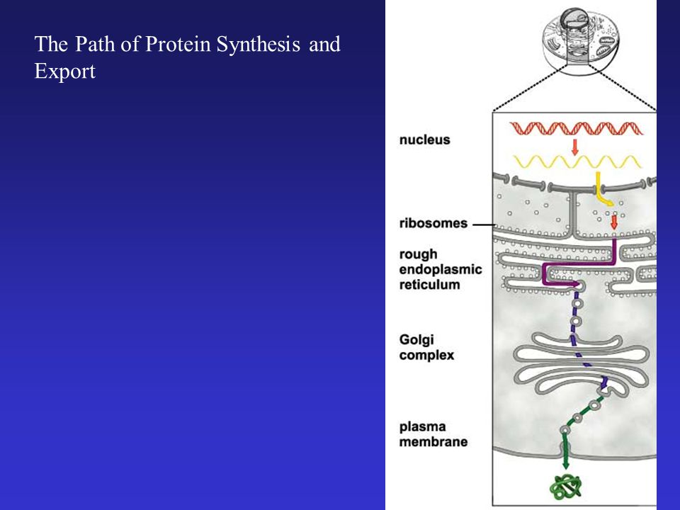 The Path of Protein Synthesis and Export