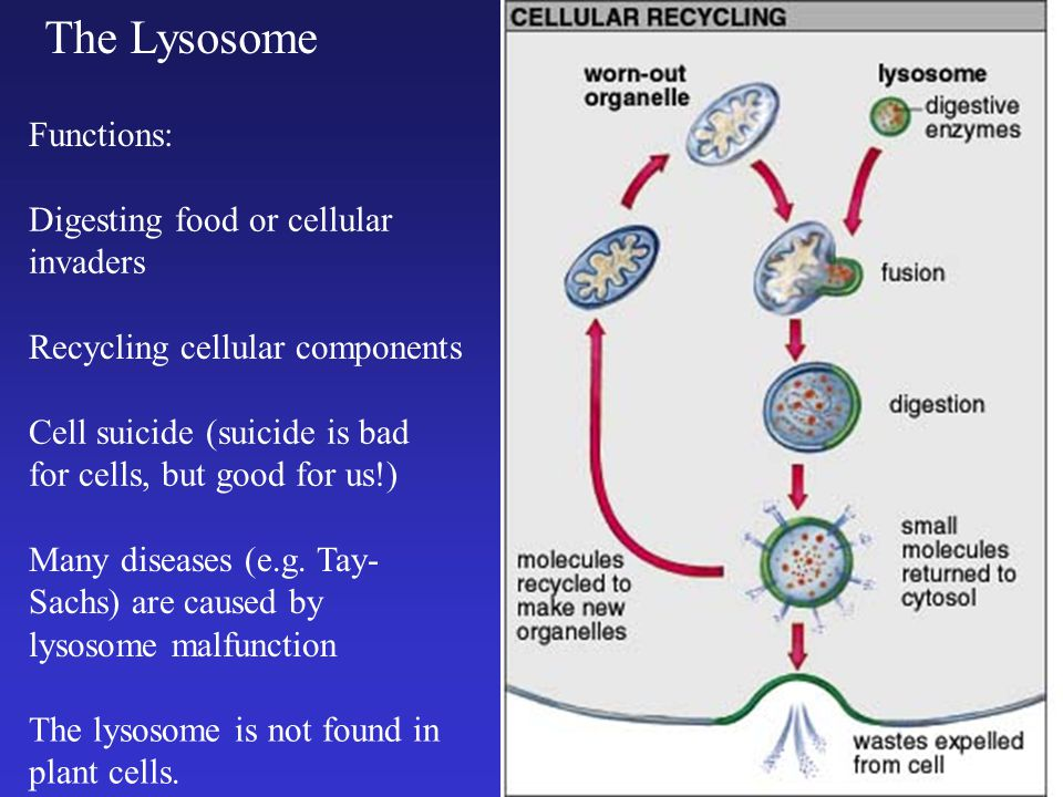 The Lysosome Cell suicide (suicide is bad for cells, but good for us!) Many diseases (e.g.