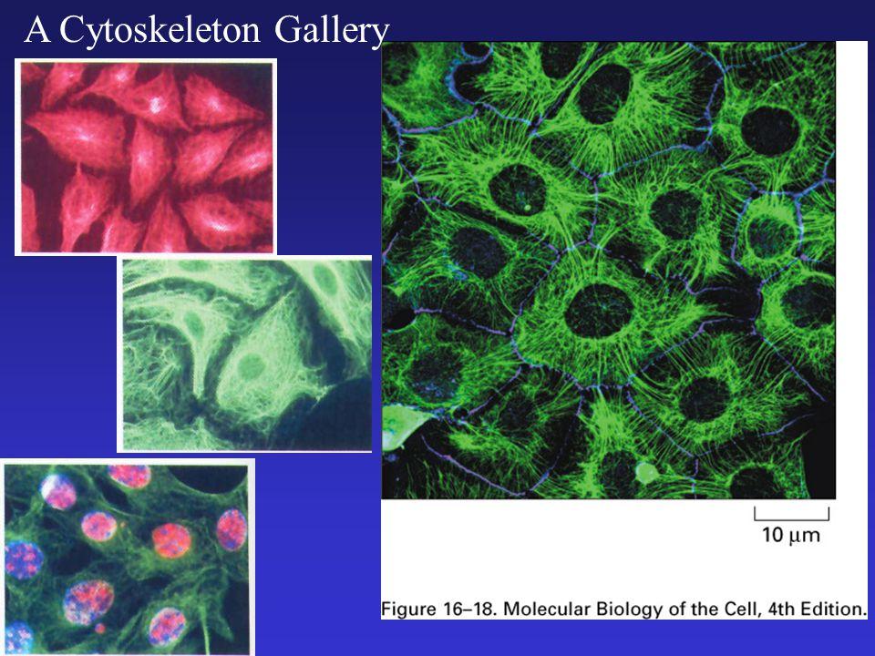 A Cytoskeleton Gallery