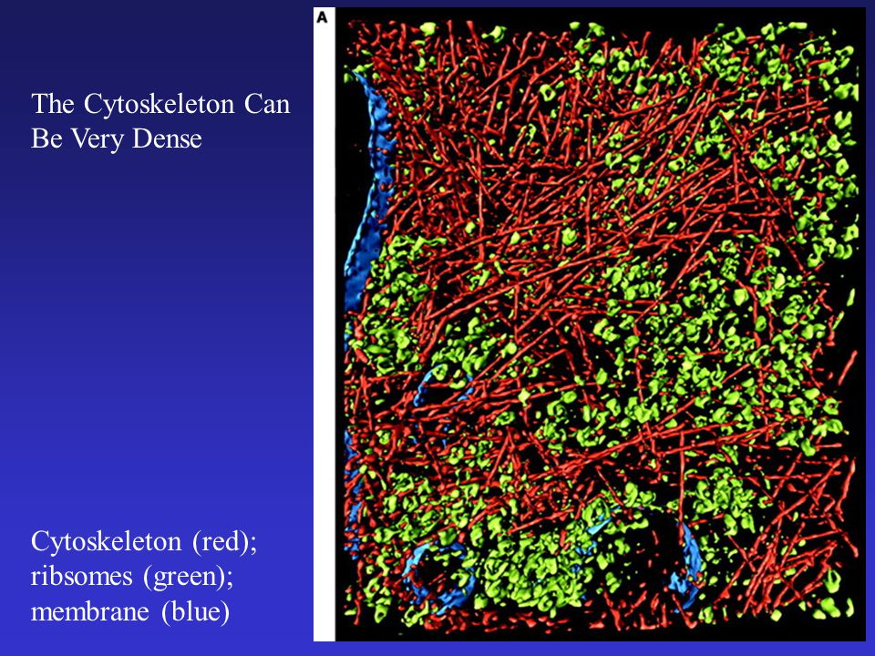 Cytoskeleton (red); ribsomes (green); membrane (blue) The Cytoskeleton Can Be Very Dense