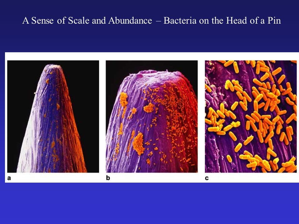A Sense of Scale and Abundance – Bacteria on the Head of a Pin