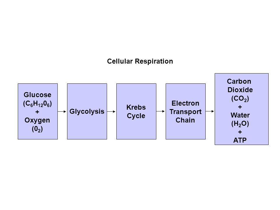 Flowchart Section 9-2 Glucose (C 6 H 12 0 6 ) + Oxygen (0 2 ) Glycolysis Krebs Cycle Electron Transport Chain Carbon Dioxide (CO 2 ) + Water (H 2 O) + ATP Cellular Respiration