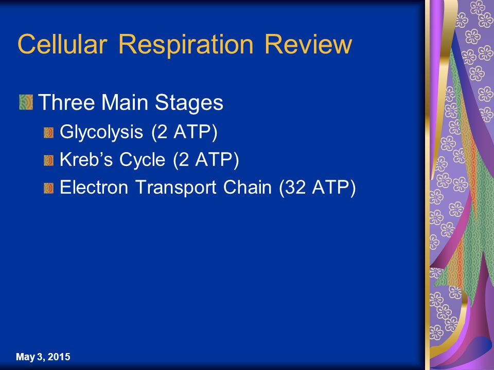 Cellular Respiration Review Three Main Stages Glycolysis (2 ATP) Kreb's Cycle (2 ATP) Electron Transport Chain (32 ATP)