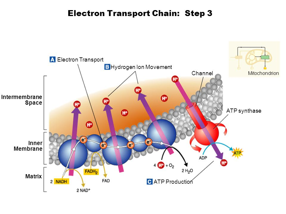 Electron Transport Chain: Step 3 Section 9-2 Electron Transport Hydrogen Ion Movement ATP Production ATP synthase Channel Inner Membrane Matrix Intermembrane Space Mitochondrion
