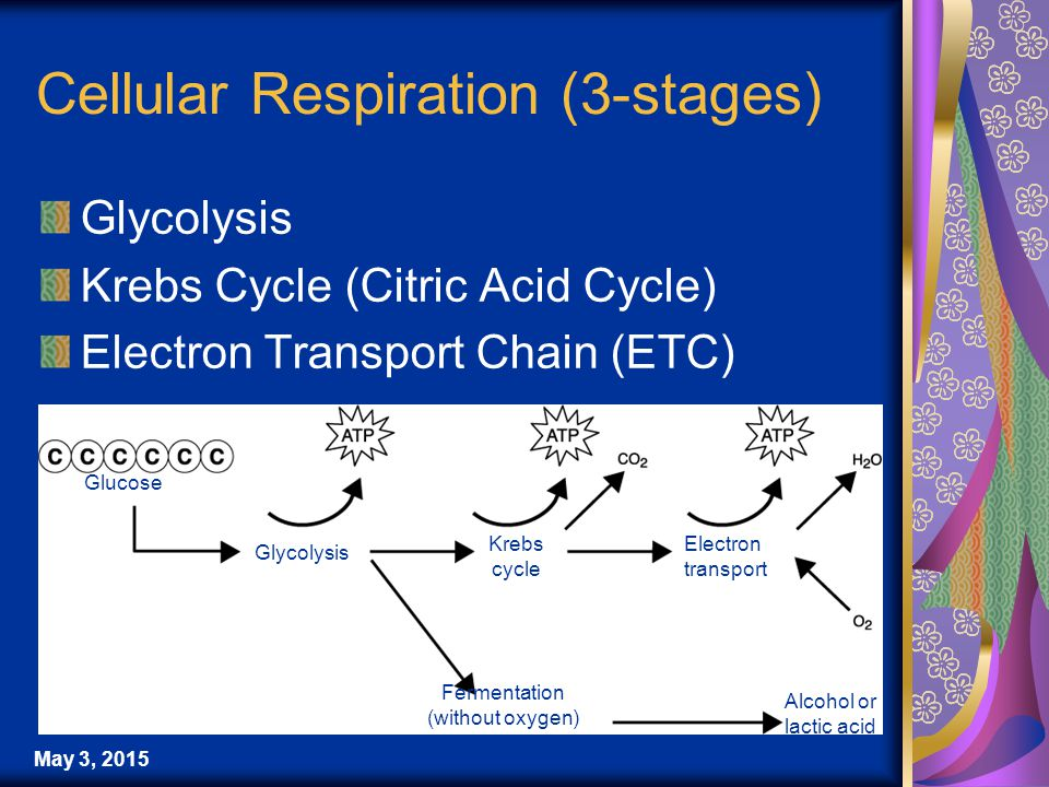 May 3, 2015 Cellular Respiration (3-stages) Glycolysis Krebs Cycle (Citric Acid Cycle) Electron Transport Chain (ETC) Glucose Glycolysis Krebs cycle Electron transport Fermentation (without oxygen) Alcohol or lactic acid
