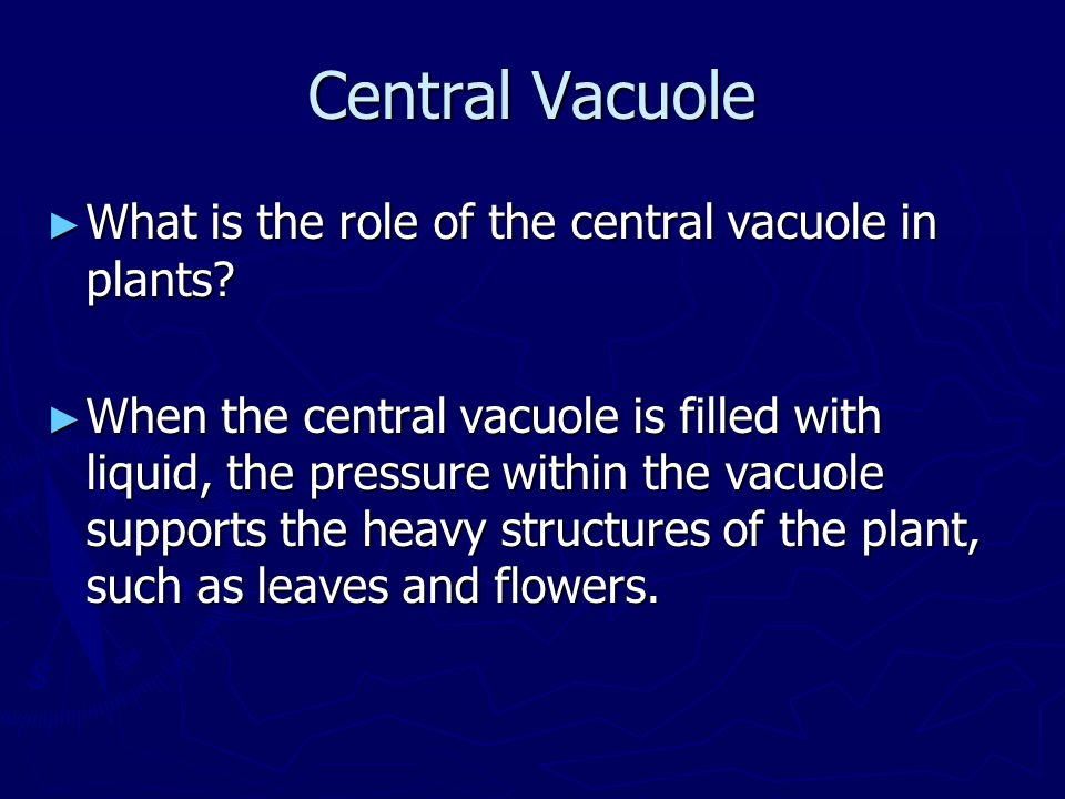 Central Vacuole ► What is the role of the central vacuole in plants? ► When the central vacuole is filled with liquid, the pressure within the vacuole
