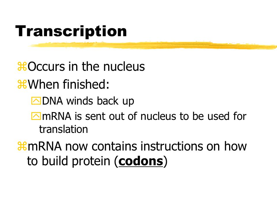 Transcription zProducing a strand of messenger RNA (mRNA) from the DNA strand zmRNA uses one strand of DNA and is complementary to that DNA yExcept in RNA Uracil (U) takes the place of Thymine (T) zRNA polymerase moves along DNA strand and adds nucleotides to mRNA strand